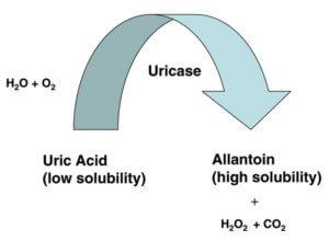 Uricase Converts Uric Acid image