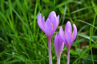 Colchicine: Pretty, Poisonous, but Powerful for Gout